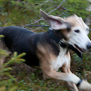 Hare Hound Field Trials - DM Trøndelag 2011