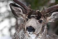 muledeer buck full face snowing