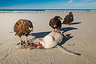 Striated caracaras, Phalcoboenus australis, eating Gentoo penguin carcass, Pygoscelis papua, Saunders Island, Falkland Islands