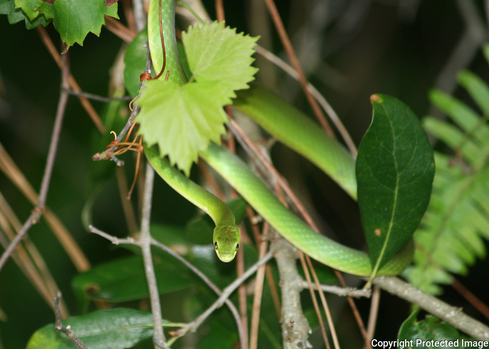 A Rough Scaled Green Snake curled around a grape vine in a Holly Tree on Jekyll Island, Georgia.