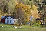 Sheep farming in autumn. Sau på innmarksbeite om høsten. Selbu i Sør-Trøndelag.