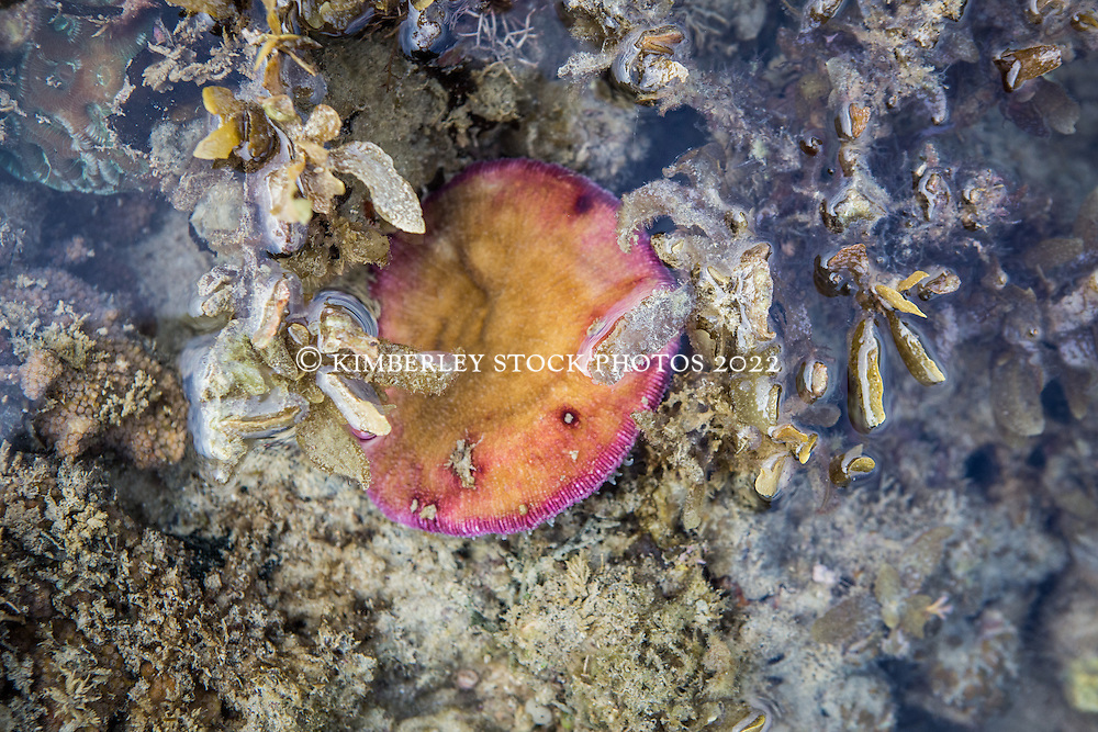 A mushroom coral lies exposed on the reef in the intertidal zone on Macleay Island on the KImberley coast.