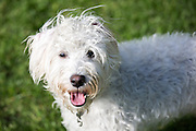 Local dogs in London - this is Archie the schnoodle - a cross between a miniature schnauzer and miniature poodle