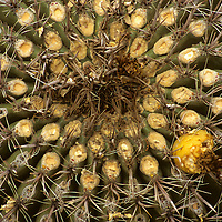 North America, USA, Arizona, Tucson. Saguaro National Park (East). Bloom of the Fishhok Barrel Cactus.