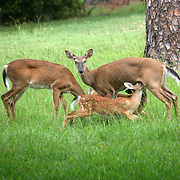 Twin fawns nurse on mom, doe, while a small buck grazes on grass on a Jekyll Island golf course.