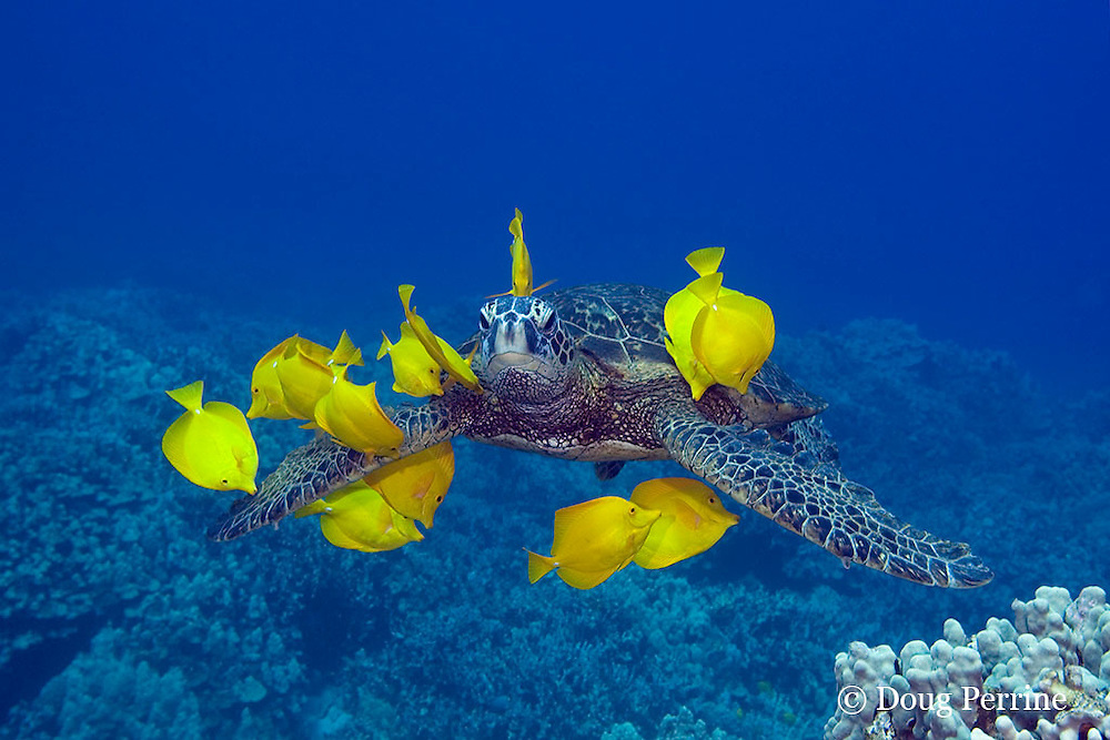 green sea turtle, Chelonia mydas, being cleaned by herbivorous yellow tangs, Zebrasoma flavescens, that graze algae off of turtle's shell, at cleaning station, Kona, Hawaii ( Central Pacific Ocean )