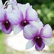 Flowers - Bali Orchid Garden