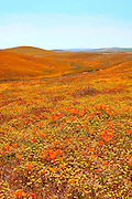 Entire fields of California poppies and goldfields stretch across the high desert of the Antelope Valley in California.