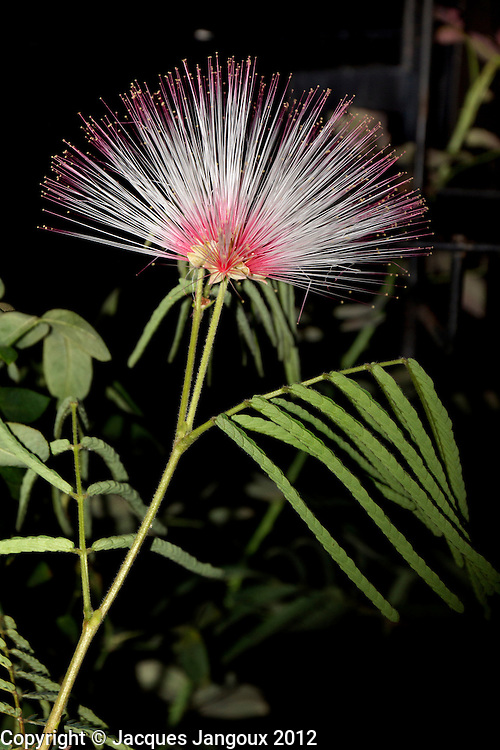 Calliandra sp. (family Fabaceae - Leguminosae, subfamily Mimosoideae). The bud opens late in the afternoon, the flower stays open at night, then withers in the morning. A sub-shrub  from the cerrado (savanna) of the Brazilian Highlands in Goiás State, in cultivation in Belém.