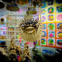 DAYTONA BEACH, FL -- A puffer fish dangles from the shelf  in the airbrushing shop owned by George V. St. Pierre Jr. in Daytona Beach, Fla., on Thursday, January 26, 2012. As the Florida Primary approaches, the voters along the I-4 corridor are becoming an increasingly more important path to securing a win.  (Chip Litherland for The New York Times)