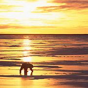 Polar bear (Ursus maritimus) at sunset. Hudson Bay, Cape Churchill, Manitoba, Canada