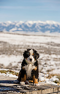 Bernese Mountain Dog, puppy, male, ten weeks old, Crazy Mountains, Montana, PROPERTY RELEASED