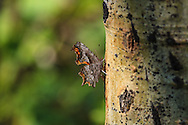 Camouflage - Unknown Moth fedding on sap oozing out of woodpecker holes in Aspen trees - - Blackleaf WMA - Rocky Mtn Front