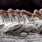 Hundreds of pelicans make a fall stop at Lake Red Rock on their migratory trip south.  After devastating floods in 1947, money was appropriated by Congress to construct a flood-control dam across the Des Moines River.  Finally, after several delays, the U.S. Army of Engineers began construction in 1960 downstream from the old town of Red Rock in Marion County, and the gates to the dam were closed in 1969, beginning a new chapter in avian ecology as Lake Red Rock began to form.  photo by david peterson