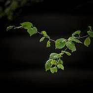 Leaves blader bjørk