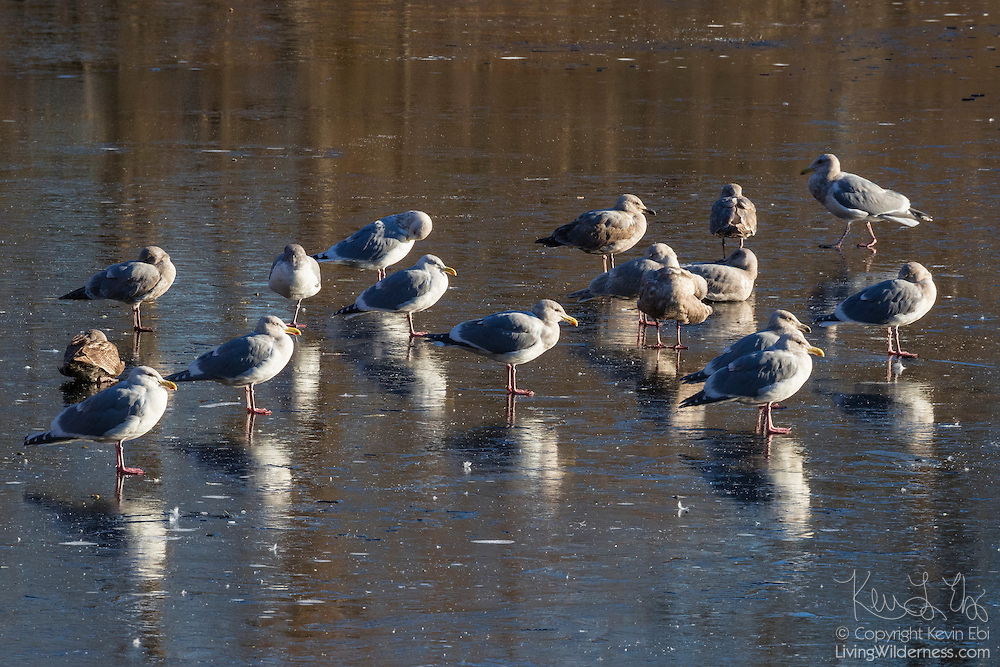 More than a dozen gulls, mainly herring gulls (Larus argentatus), rest on the frozen surface of Sprague's Pond in Lynnwood, Washington.