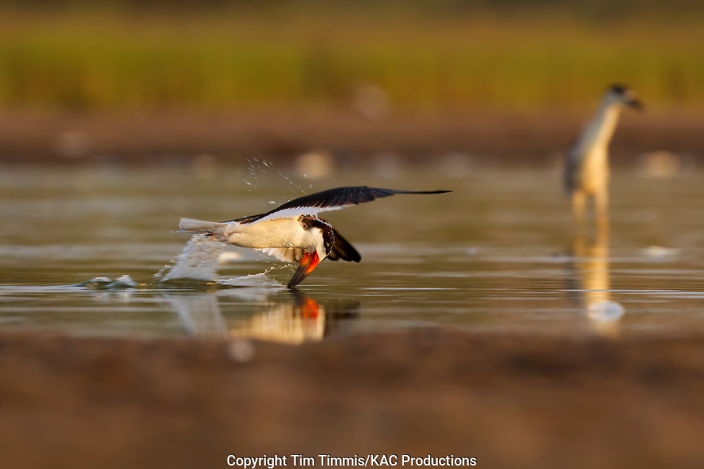 Black Skimmer, Rynchops niger, Bryan Beach, Texas gulf coast, skimming, beak in water, splashing water, lowered head
