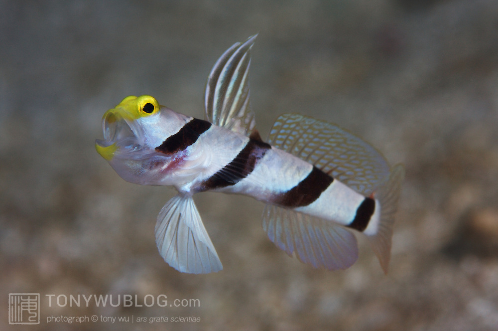Yellownose shrimp goby with mouth open and fins flared. Many fish seem ...