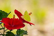 Cloudless sulphur, Phoebis sennae, feeding on hibiscus, southern, Arizona, summer, garden.