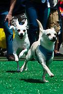 2013 Running of the Chihuahuas