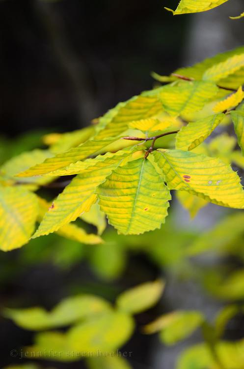 Green birch leaves (Betula papyrifera) slowly turning yellow, Acadia National Park, Maine.