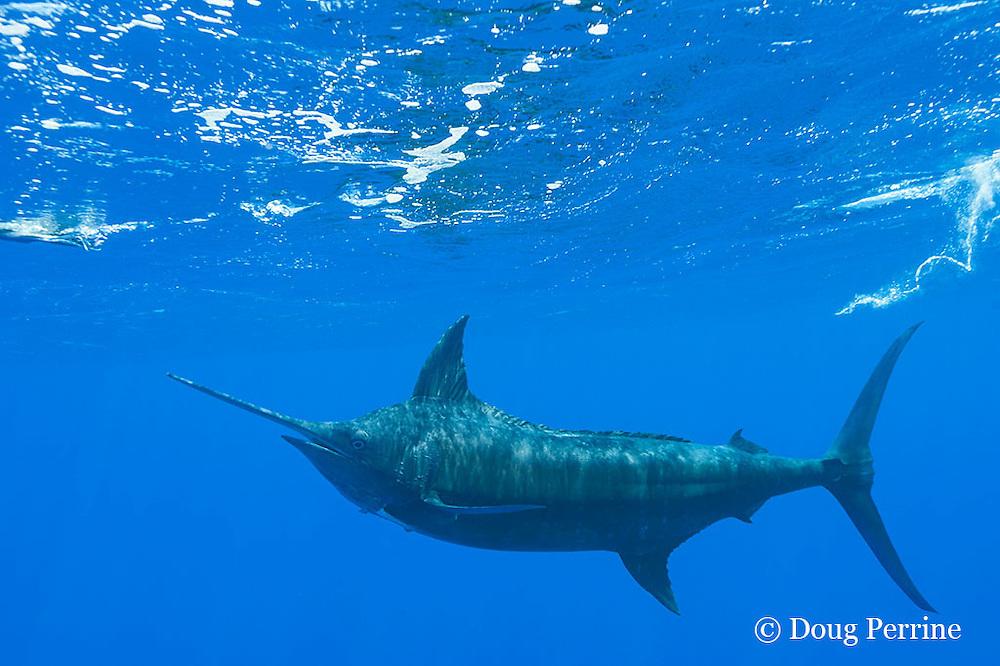 free swimming blue marlin, Makaira nigricans, chasing teaser lure, Vava'u, Kingdom of Tonga, South Pacific