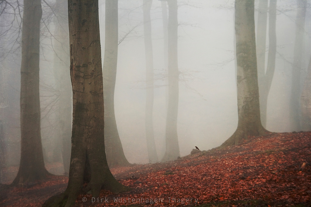 Beech tree forest in morning fog on an autumn day.<br />