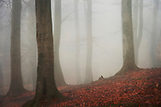 Beech tree forest in morning fog on an autumn day.<br /> <br /> Prints &amp; more:<br /> http://society6.com/DirkWuestenhagenImagery/ambience-CqE_Print