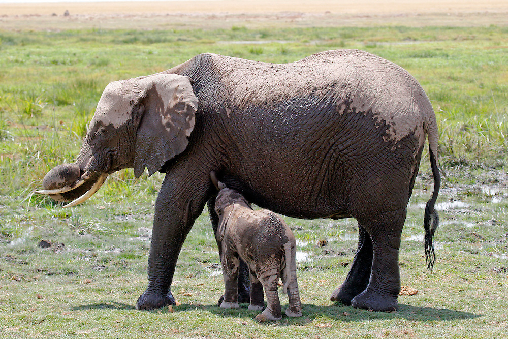 Africa, Kenya, Amboseli. Elephant nursing young near marsh at Amboseli.
