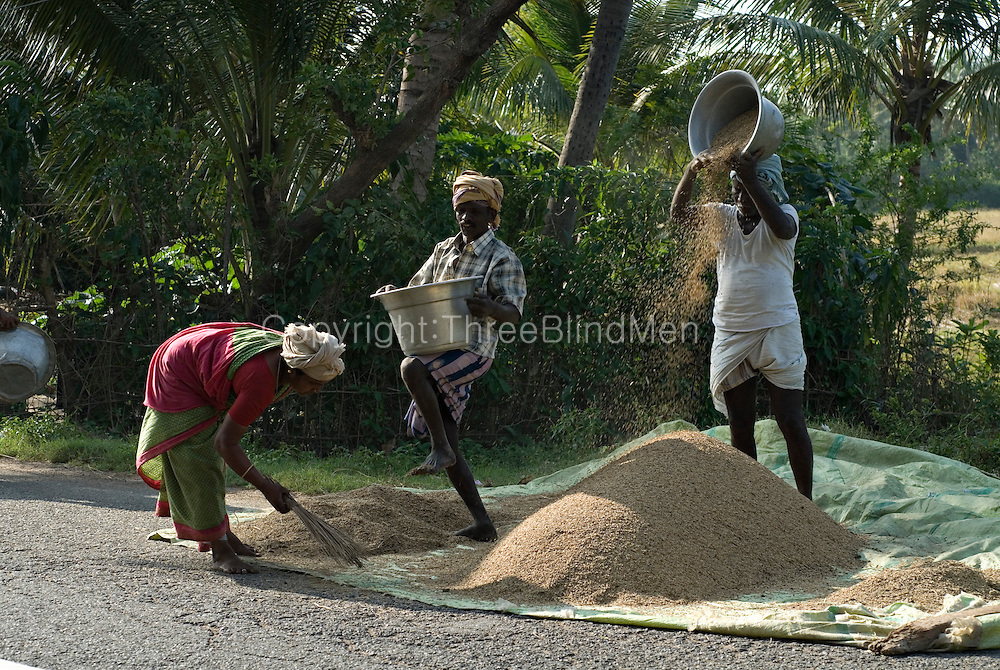 Threshing rice by the side of the road.  Harvest season. Tamil Nadu.