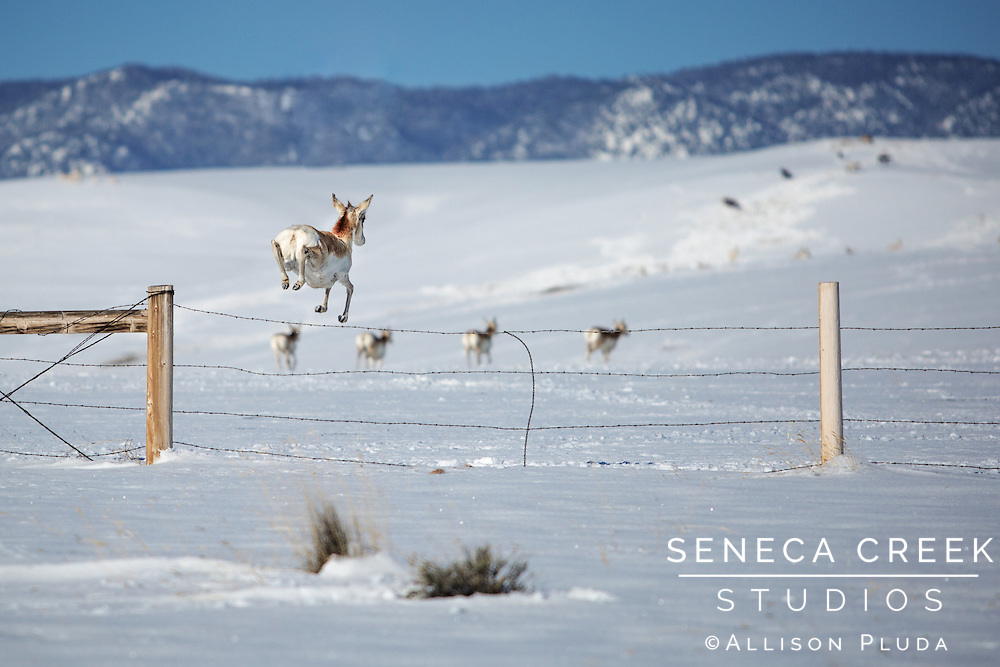 Back in the Pleistocene thousands of years ago, the pronghorn antelope were prey for the legendary fast cheetahs and hyenas, so they evolved to run fast, really fast.  Now that there are no longer cheetahs here in Wyoming, the pronghorn now has the title for fastest land animal in North America running up to 60 mph.  Not only do they need space to run, but also since they migrate as well, fences and fragmented developed land are their modern threat.  Wyoming has no shortage of space, but they do still have to jump over some fences (literally) to get to greener pastures!