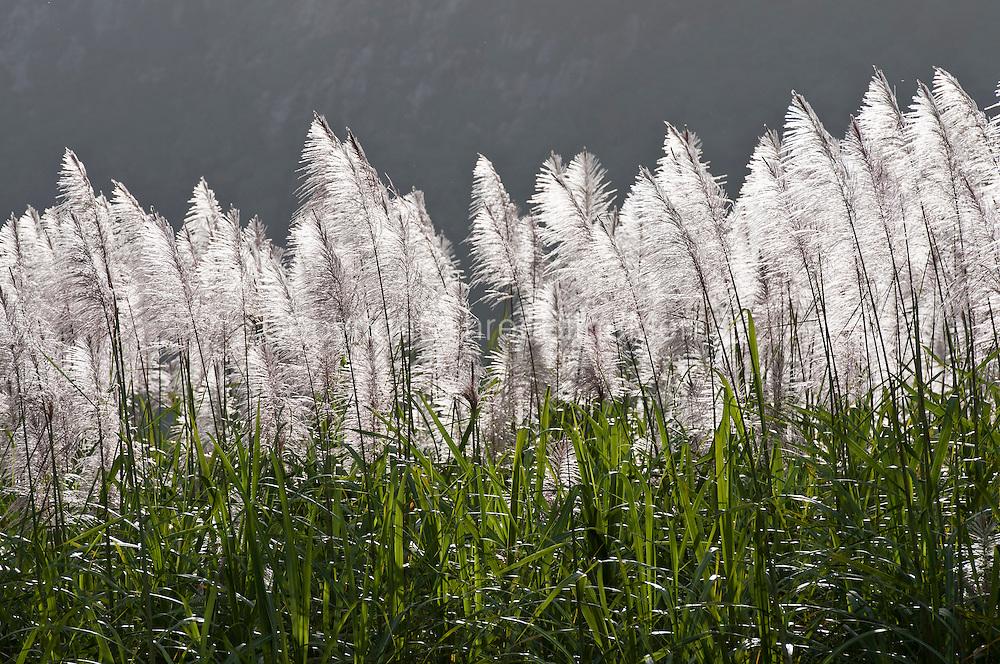 Sunlight on sugarcane flowers.