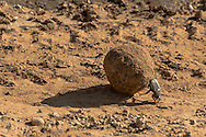 Dung beetles are truly fascinating creatures that feed almost exclusively on dung that they roll into balls for easy transport as a food source and a nesting site for their young. The male has the real work - the female (not visible here)just rides along and serves as ballast for the dung ball. We were fortunate to observe this gentleman at his work (not what safari enthusiasts normally have as a focus.)