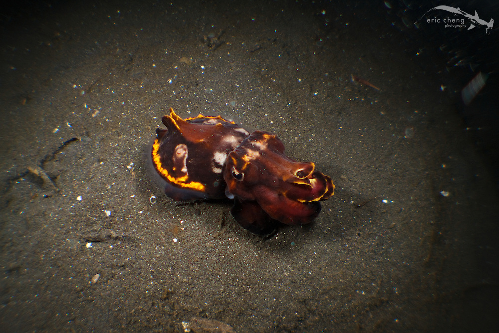 A flamboyant cuttlefish (Metasepia pfefferi). Lembeh Strait, Indonesia. echeng100303_0252342