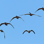 Six Canada geese (Branta canadensis) fly in formation over the Nisqually Wildlife Refuge in Washington state. The Canada goose is the most widespread goose in North America and is found on ponds and marshes throughout the year in Canada and the northern United States.