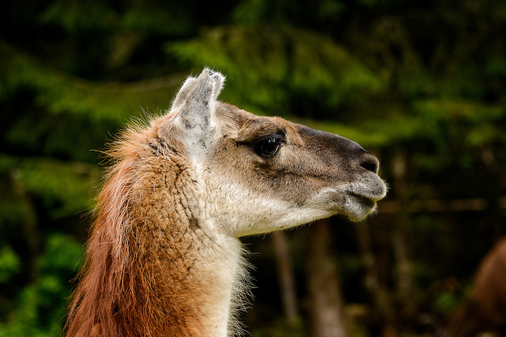 Llama at Amadeus Zoo, Norway.