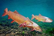 Snake River Fine Spotted Cutthroat Trout<br /> <br /> Patrick Clayton/Engbretson Underwater Photography