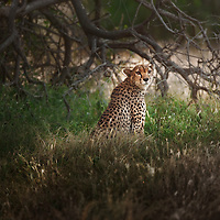 Cheetah in the grass, Samburu National Reserve, Kenya