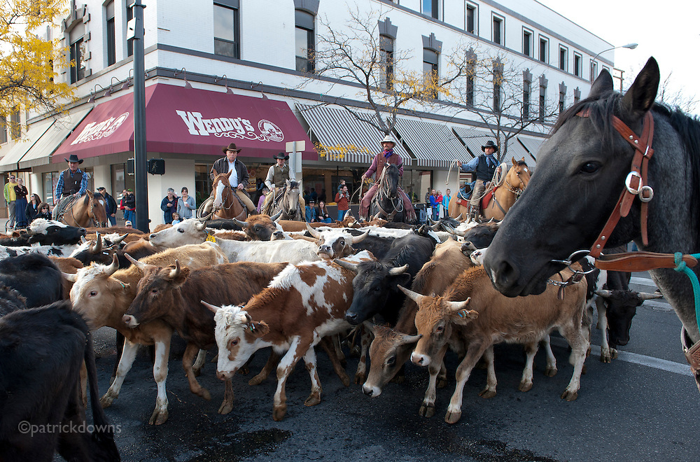 Cattle, oblivious to Wendy's, are herded in the NILE cattle drive though downtown Billings, MT. The parade celebrates the beginnings of the livestock industry in the upper Yellowstone Valley, which dates to 1879.