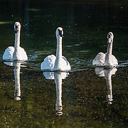 Three white swans reflect in Manistee River, Mesick, Michigan, USA.