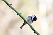 Black-capped Chickadee (Poecile atricapillus) sitting on a Rose branch watches another Chickadee forage below.  Photographed in the Fraser Valley of British Columbia, Canada.