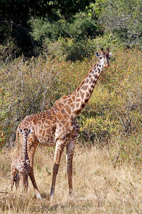 Africa, Kenya, Masai Mara. Maasai Giraffe and young baby at side.