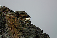 A dall sheep climbing the mountains in Northern Alaska