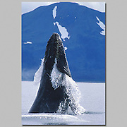 Alaska. Prince William Sound. Humpback Whale (Megaptera Novaeangliae)<br /> dorsal fins on their backs, and ventral pleats running from the tip of the lower jaw back to the belly area. The shape and color pattern on the humpback whale's dorsal fin and flukes (tail) are as individual in each animal as are fingerprints in humans