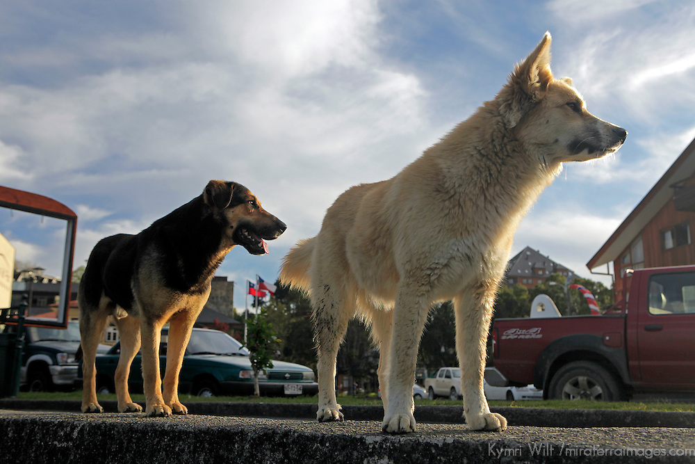 South America, Chile, Puerto Varas. Dogs of Puerto Varas.