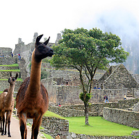 South America, Peru. Llama wandering amongst the citadel of Machu Picchu.