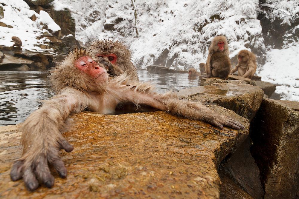 Snow monkeys groom while relaxing in a hot spring (Japanese macaque, Macaca fuscata). Jigokudani Yaen-Koen near Shibu Onsen, Japan.