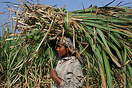 22/12/08 - NELLIKUPPAAN - TAMIL NADU - INDE - Culture de cannes a sucre dans le Tamil Nadu - Photo Jerome CHABANNE