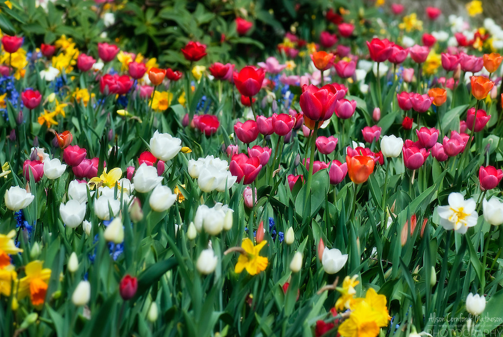 Transplanting Tulips After Bloom Tulips Bloom in The Gardens of