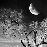 The moon rises over a dead tree